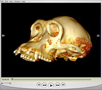 Once a 3D reconstruction has been performed and all CT slices have been combined and rendered together, animations can be rendered, saved, and played back later without the need for the original raw data or 3D visualization software. This animation, using OsiriX imaging software, shows a 360-degree rotation of a chimpanzee skull that was scanned as a test at UC San Diego's Thornton Hospital, using the facility's mobile 16-slice GE CT unit during off-hours. Source: John L. Moreland, San Diego Supercomputer Center, UC San Diego.
